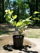 Champanel Grape 1Gal Live Healthy Vine Plants Vines Plant Sweet Grapes Vineyards - $21.21