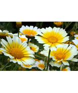 1/4 oz Daisy Seed, Garland Daisy, Crown Daisies, Heirloom Non-GMO, Appro... - $6.92
