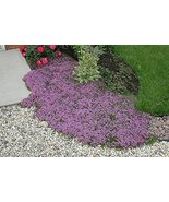 200K Seeds Creeping Thyme Seeds, Heirloom, Non-GMO - $35.64