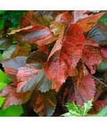 ACALYPHA BRONZE PINK Live Plant 1 gallon size Garden Home Patio Planters... - $19.95