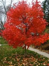 1 Plant Autumn Blaze® Maple Tree Jeffersred Established in 1 Gallon Pot - $62.79