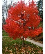 1 Plant Autumn Blaze® Maple Tree Jeffersred Established in 1 Gallon Pot - $62.79
