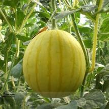 BEST PRICE 20 Seeds Yellow Wu Feng Watermelon,DIY Watermelon Seeds E3025 DG - $7.00