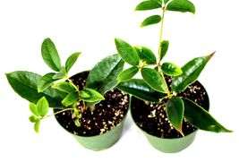 Sweet Olive Tree Osmanthus - Mature Hardy Easy to Grow Plants Fragrant Tea - €25,11 EUR