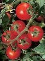 Tomato - Chadwick's Cherry - Non-Hybrid - Non-GMO - St. Clare Heirloom S... - $2.49