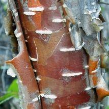 Western Red Birch Tree Seeds (Betula occidentalis) 50 Seeds - $12.99