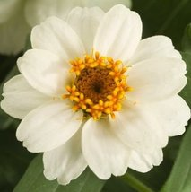 25 seeds of Zinnia flower Profusion double White - $17.70