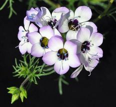 SHIP FROM US Bird's Eye (tricolor) Flower Seeds Fresh Hand-packaged SPT5 - $8.00