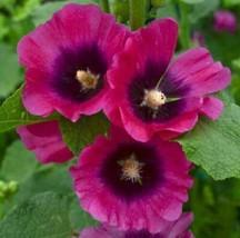 50 Halo Cherise Hollyhock Seeds Perennial Flower Garden Flowers - TTS - $29.95