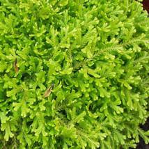 """Golden Spikemoss -Selaginella kraussiana 'Aurea' - 4"""" Pot - $31.79"""