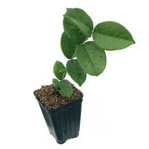Live Plant Star Cherry (Brazilian Pitangatuba) - Eugenia neonitida - Gar... - $52.00
