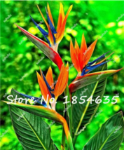Best Price 100 Seeds Heliconia Sucuulent Plant,Diy Flower Seeds DL196C Dg - $5.99