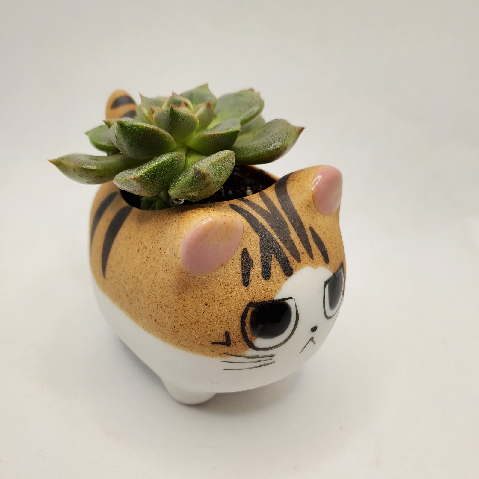 "Primary image for Graptoveria Olivia Succulent in Cat Planter - 2.5"" Kitty Kitten Ceramic Pot"