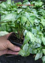 "NEPHTHYTIS - WHITE BUTTERFLY - LIVE PLANT - 3"" POTS - 1 PLANT - $9.80"