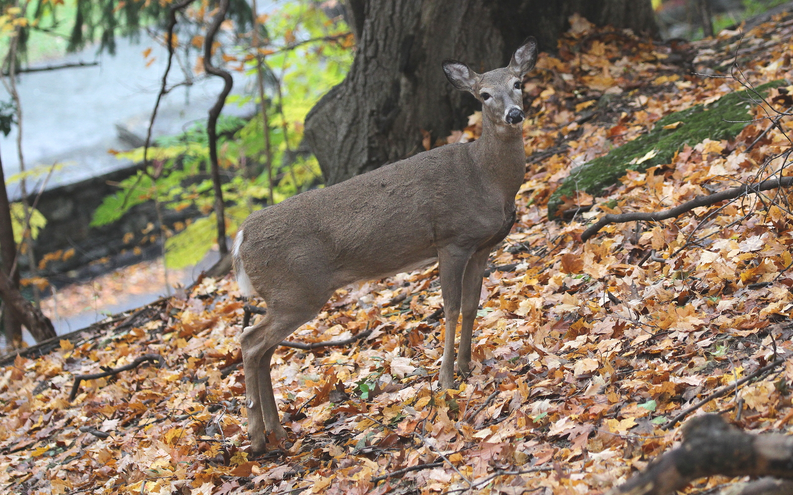 Primary image for Whitetailed Deer 13 x 19 Unmatted Photograph