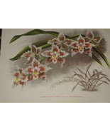 Lindenia Print Limited Edition Odontoglossum Crispum Ferrierense Orchid ... - $14.24