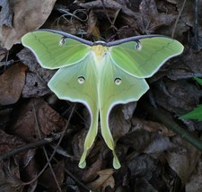 Luna Moth Photograph    Color Print   (Free Shipping) - $14.92