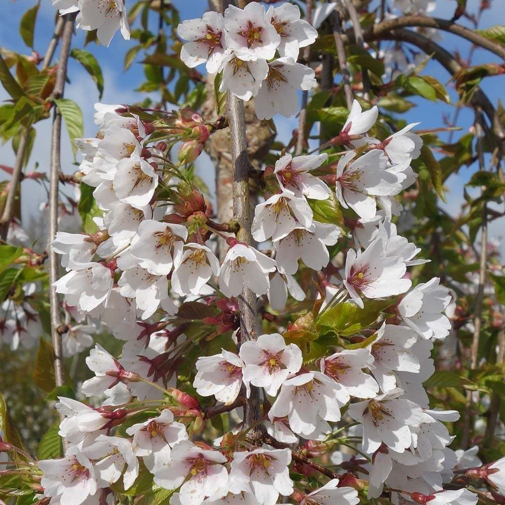 Primary image for 1 Gallon Shidare Yoshino Weeping Cherry Tree Potted 1 Each