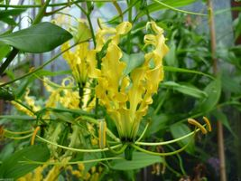 10 Gloriosa Lily Lutea Seeds-Yollow/Gold-,Flame Lily a.K.a glory lily, fire lily - $10.99