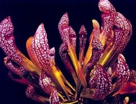 4 Starter Plants of Sarracenia X Wrigleyana Scarlet Belle - $138.60