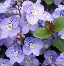 SHIP FROM US 50 Seeds Veronica Creeping Blue Speedwell Flower,DIY SB Flo... - $27.99