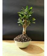 Micro Olivenbaum Bonsai - Spezialpflanze - $56.68