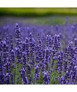 Lavender Vera English Variety Herb Seeds Pack (100% Heirloom/Non-Hybrid/... - $14.99+