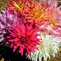 SHIP FROM US ZINNIA ELEGANS CACTUS FLOWER MIX 120 SEEDS CALIFORNIA TGV1 - $12.00