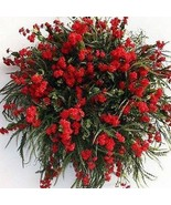 SHIP FROM USA Babys Breath Red Flower Seeds (Gypsophila Elegans Crimson)... - $23.92