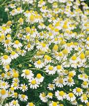 Ship From Us 10 Seeds Common German Chamomile,Diy Decorative Plant Am - $23.99