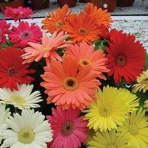 SHIP FROM US 20 Gerbera Daisy Hybrids Mix Flower Seeds (Jamesonii), UTS04 - $19.98