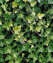 Baltic Clingy Ivy Live Plant - $24.00