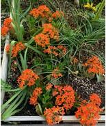 2 Orange Kalanchoe Plant Cuttings Easy to Grow Perennial Flowering Succu... - $9.49