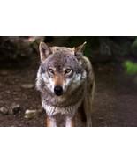 Werewolf Custom Conjure! Psychic Protection!  - $110.00