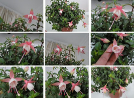 100seeds fuchsia bonsai,flower fuchsias plant for home and garden white ... - $2.79