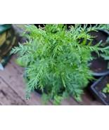 Bulk Artemisia Annua listing. Tea, Seeds, & Plants. Sweet Wormwood (Qing... - $5.94+