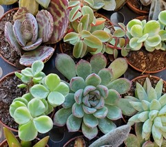 """Succulent Mystery Box, set of 3 live plants, 2"""" Assorted Variety Valentines Gift image 2"""