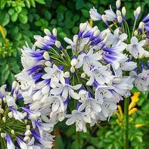 1 TWISTER -Agapanthus/Lily of the Nile Tuber/Bulb -Blue and White Flower... - $99.99