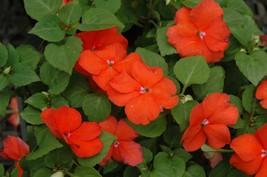 150 Impatiens Seeds Super Elfin XP Bright Orange Flower Seeds Outdoor Living - $49.99