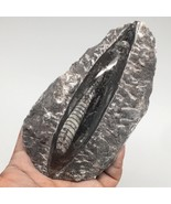 """360g,5.4""""x2.9""""x1.4"""" Fossils Orthoceras (straight horn) SQUID @Morocco, M... - $8.80"""