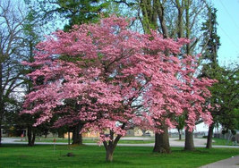 "PINK DOGWOOD Tree 2 1/2 ""pot image 4"