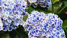 10 Mars Hydrangea Seeds Perennial Hardy Garden Shrub Flower Bush Seed - TTS - $23.95