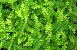 "Button Fern - Pellaea rotundifolia - 4"" Pot - $31.79"
