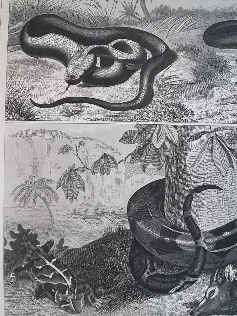 AMPHIBIA Reptiles Green Snake Boa Horn Frog Copperhead - 1844 Superb Print