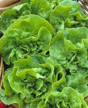 SHIP From US, 50 Seeds Lettuce Butterhead White Boston,DIY Healthy Veget... - $18.99
