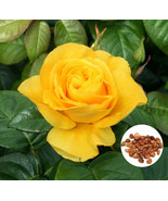 50 Yellow Rose Flower Seeds Honey Perfume Rose Seeds Rare Exotic Home Ga... - $2.69