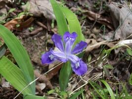 Wild Iris 5 roots image 1