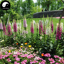 Buy Digitalis Purpurea Flower Seeds 200pcs Plant Flower Digitalis Purpurea - $9.99
