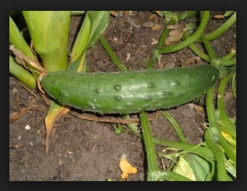 SHIPPED From US,PREMIUM SEED: 100 Particles of Cucumber, Fresh Hand-Packaged