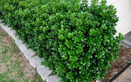"Dwarf Burford Holly 4""pot image 2"